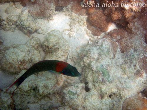 ラニカイビーチ水中2.jpg